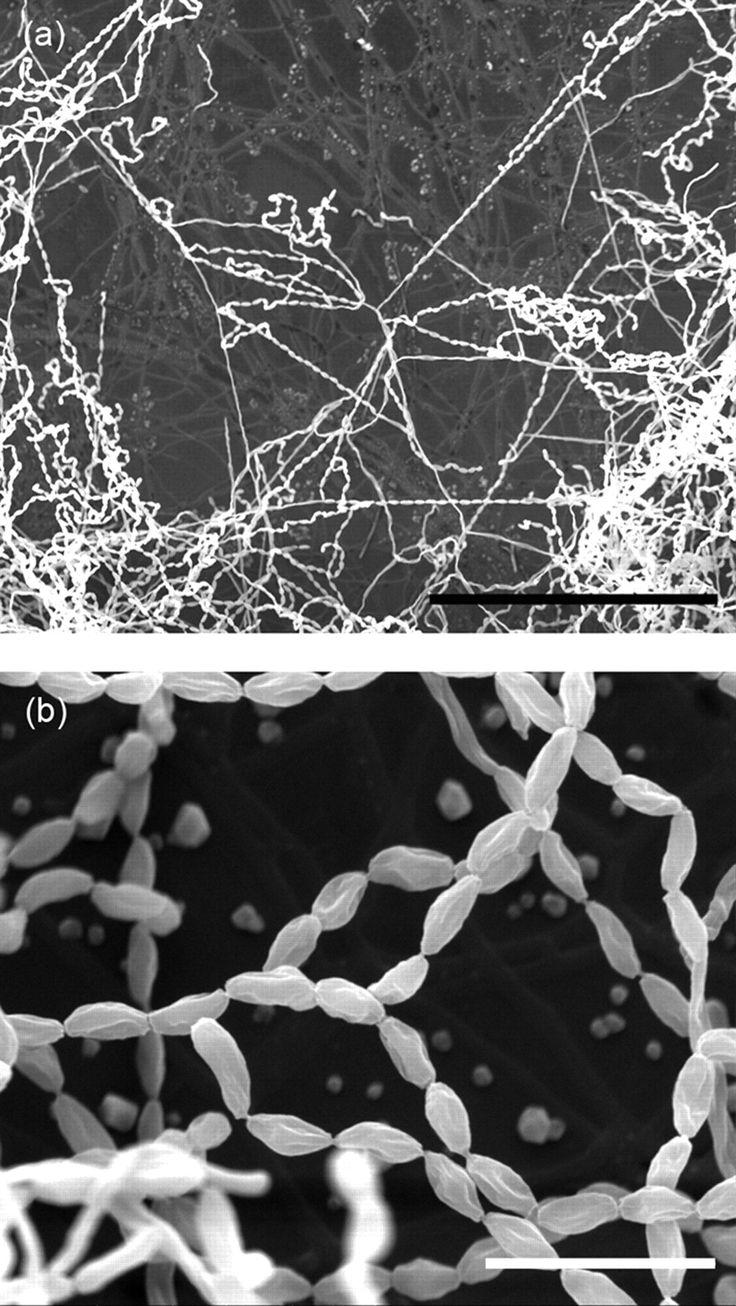 Marinactinospora thermotolerans  [000.005.080]