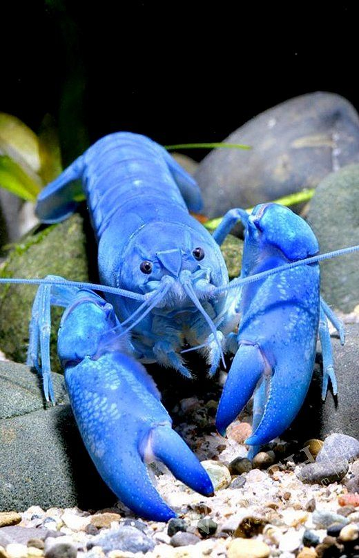 According to the Lobster Institute at the University of Maine, blue lobsters are estimated to occur just one in two million times. Why the blue color? It's caused by a genetic defect, the institute explains, which creates an abundance of a protein that causes the blue hue.