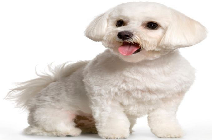 maplestory female hairstyles : Proper and Clean Maltipoo Haircuts and Styles