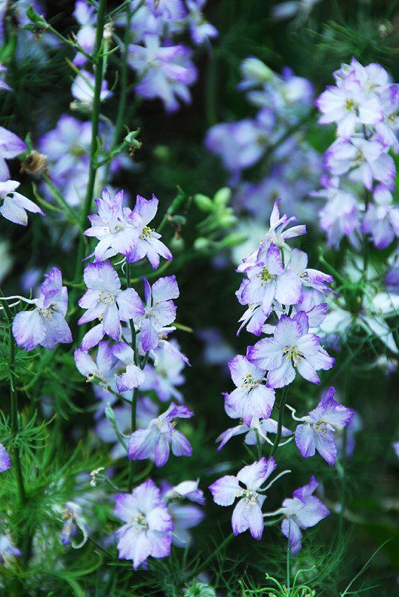 Wildflower Seed Larkspur Flower Seeds  Purple by mountainlilyfarm, $2.75
