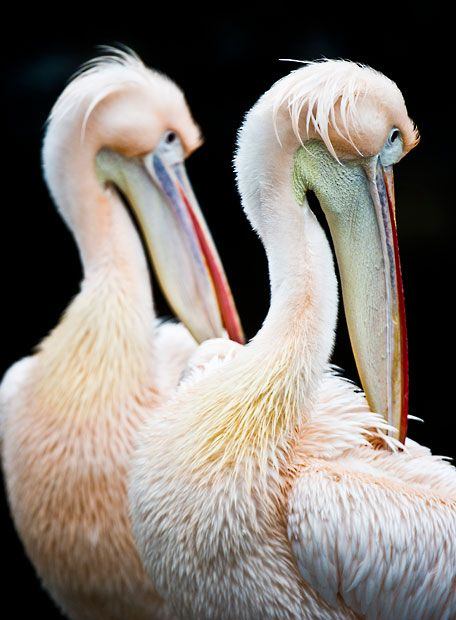 Great White Pelicans  clean their  plumage  in their enclosure in the Frankfurt Zoo / Picture: Nicolas Armer/AP