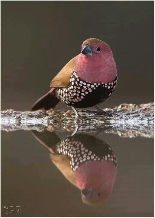 Male pink throated twinspot - estrildid finch
