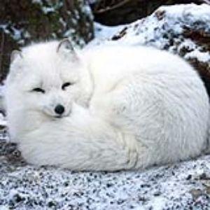 Adopt an Arctic Fox - Woodland Park Zoo Seattle WA