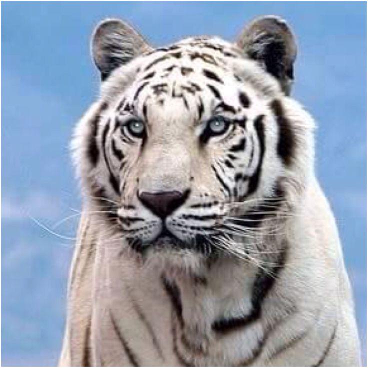 25 beste idee n over witte tijgers op pinterest tijgers. Black Bedroom Furniture Sets. Home Design Ideas