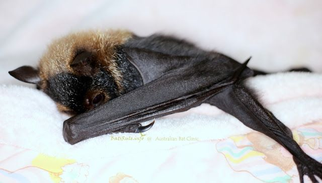 Rehab | Cairns Qld Megabat babies Spectacled in care, Pteropus conspicillatus