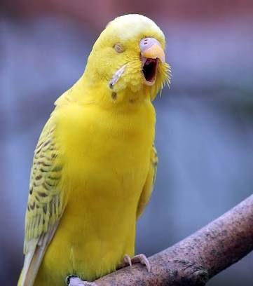 Muhabbet kuşları neden kusar