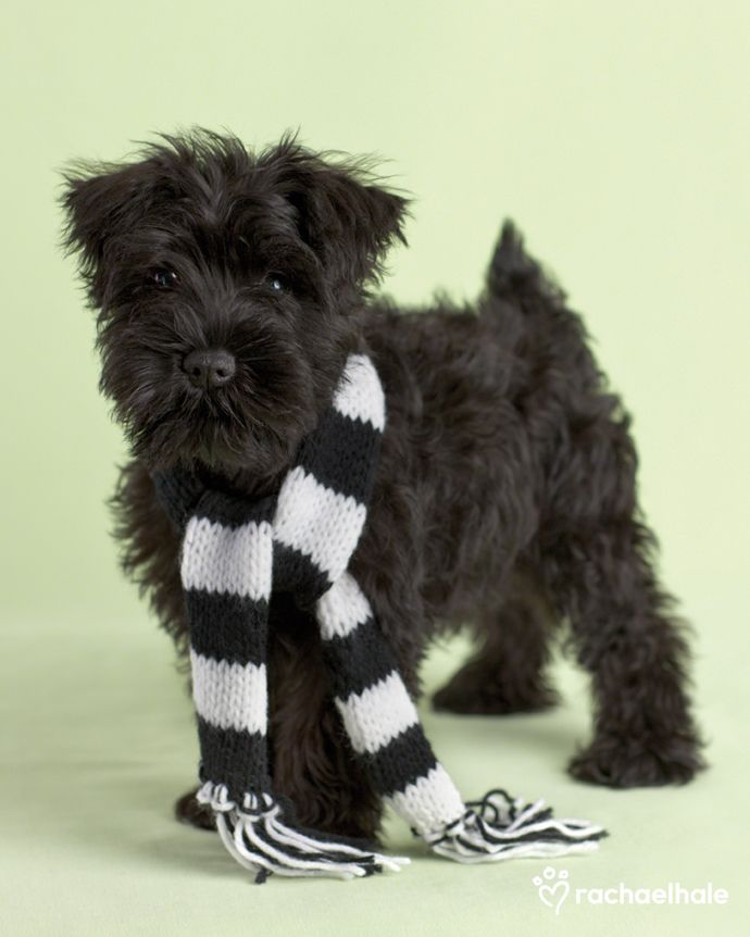Miniature schnauzer in black