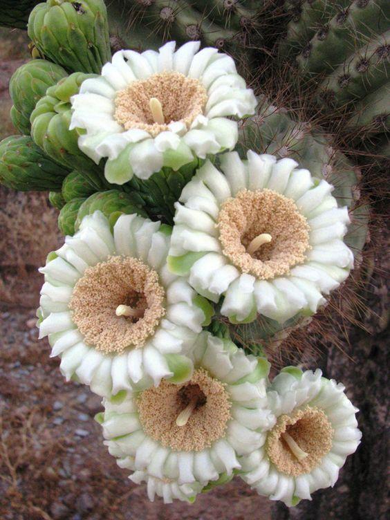 Em Fotos: Beautiful Cactus Flowers Signal mola está aqui