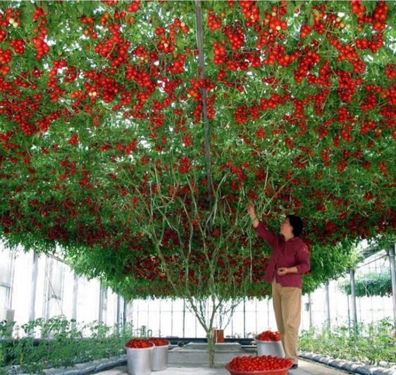 gardening high quality giant tomato tree