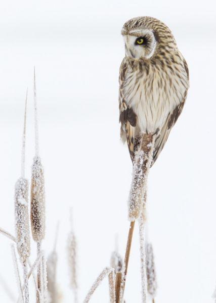 Jorduggla, Short eared owl, Asio flammeus.   Sågs 28 december 2015 på slätten utanför Västerfärnebo kyrka, med pappa och farmor. Kom flygande i vinterdiset på långt håll en solig och kall dag.