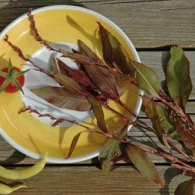 VATTENPEPPAR 'Fastigia' i gruppen Krydd- och Medicinalväxter hos Impecta Fröhandel (3418)