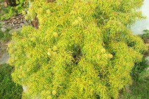 Sambucus racemosa Golden Locks