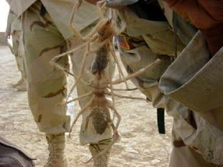 """la """"araña camello"""" ni siquiera es una araña como tal.Es también conocida como """"escorpión de viento"""",pero en realidad es una especie conocida como Solífugo. Viven en varias regiones del mundo y no son venenosas ni peligrosas para los seres humanos."""