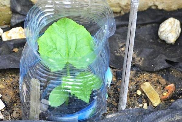 Как посадить и вырастить огурцы, наслышаны все огородники. Однако всегда находятся те, кто подходит к процессу творчески. Причины разные: хочется свежих овощей, но нет дачного участка, или климат не …