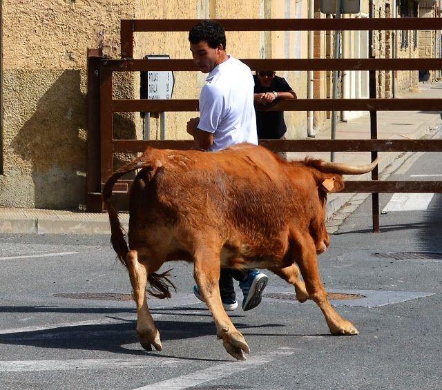 Santacara: Vacas de Vicente Dominguez - Fiestas de Agosto 201...
