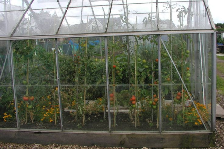 It is certainly more natural to grow tomatoes in a greenhouse border than in containers. One advantage is that it stores water and provides base nutrients