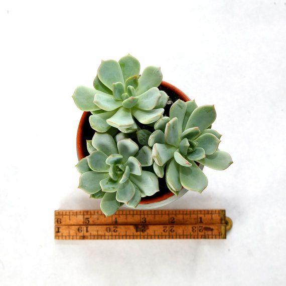 Terrarium Three echeveria in a terracotta pot by TallPoppyGardens, $27.00-Pretty!