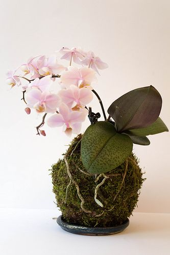 I like the idea of an orchid kokedama that's on display in a tray instead of hanging. So pretty!