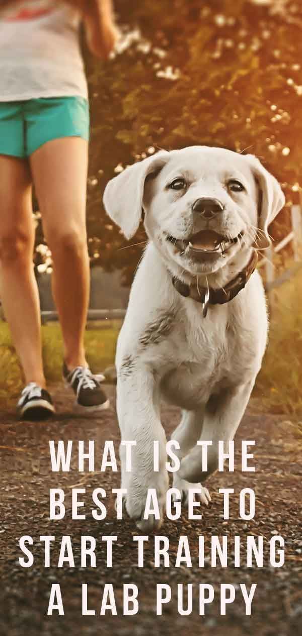 What Is The Best Age To Start Training A Lab Puppy Training A
