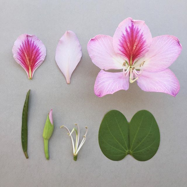 B A U H I N I A . variegata. - The Jacarandas trees lining the streets of Harare are jostling with the Bauhinia trees blooming in splashes of pink and white. #bauhiniavariegata #bauhinia #botanicaldventure #botanicaldeconstruction #botanicalstudy
