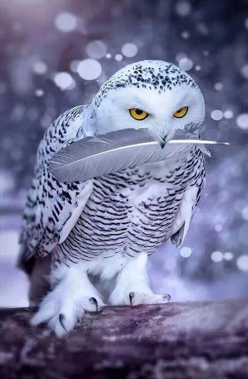 #SnowOwl