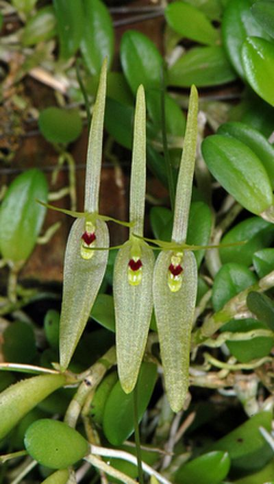 Barbosella dusenii, Syn. Restrepia dusenii ~ Orchidee