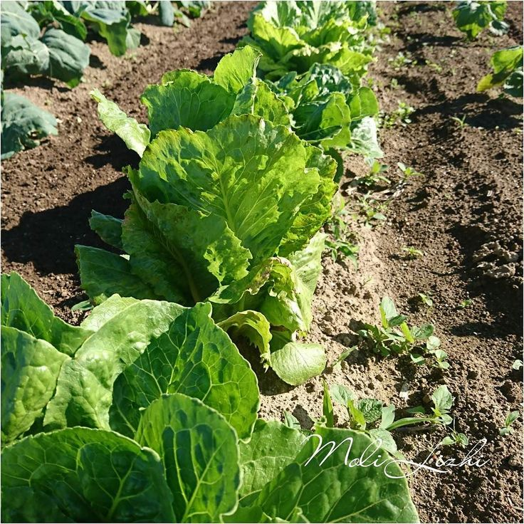 ロメインレタスです 結球しはじめまた収穫が楽しみに #レタス #ロメインレタス #латука #로메인 #Romaine #lettuce #生菜 #やさい #野菜 #蔬菜#овощи #Vegetables  Romaine lettuce has become round. I am looking forward to harvesting.  로메인이 둥글게되어 왔습니다. 내가 수확하는 것이 기대됩니다.  生菜已變得圓潤 我很期待收穫  Ромны салат стал закругленным. Я с нетерпением жду урожая.