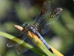 Let these aerial acrobats delight you while they control bugs & pests. Learn what the right ingredient for dragonfly alluring is, on Miraclegro.com.