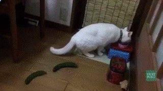 Les chats vs concombre. Fou rire garantie