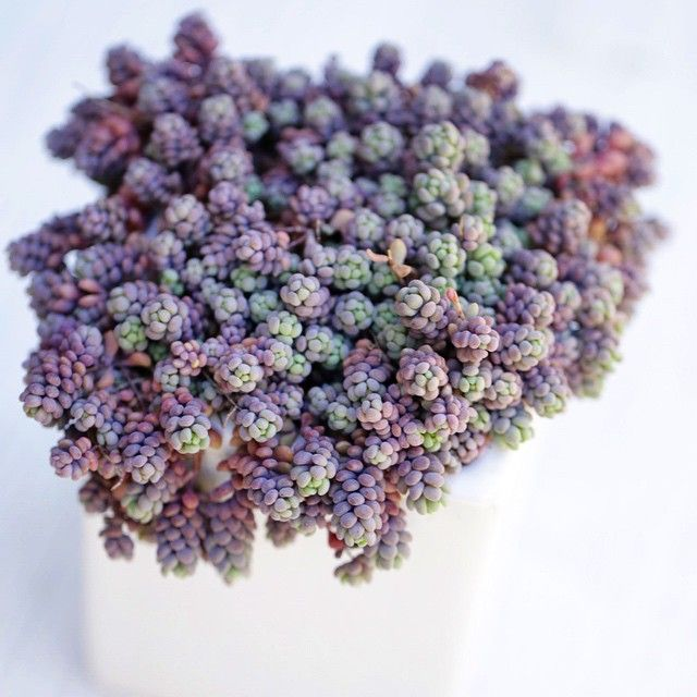 In love with this plant!! A type of Sedum Dasyphyllum. Photo by Dalla Vita.