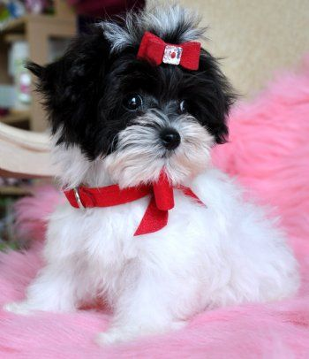 Teacup Maltipoo Puppies for Sale Melbourne Dogs
