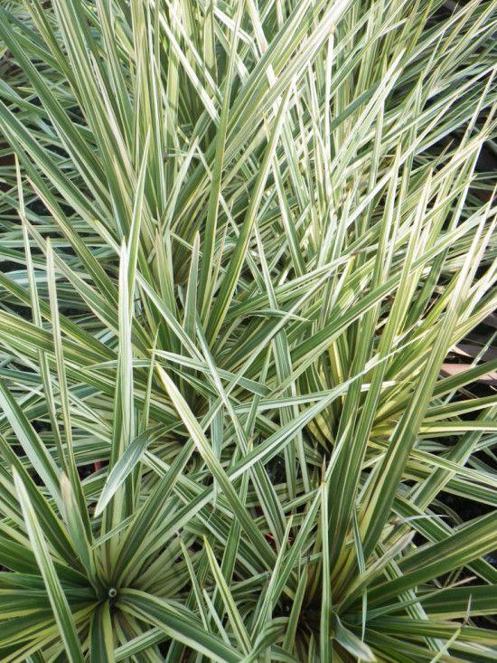 Cordyline Torbay Dazzler - Landsdale Plants