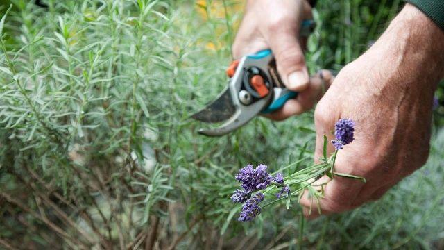 avendel sollte man zweimal im Jahr schneiden – einmal im Frühling und einmal direkt nach der Blüte.  (Quelle: dpa)