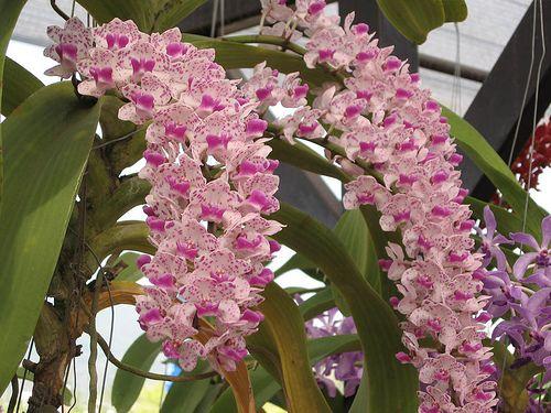 Wild Thailand Orchid