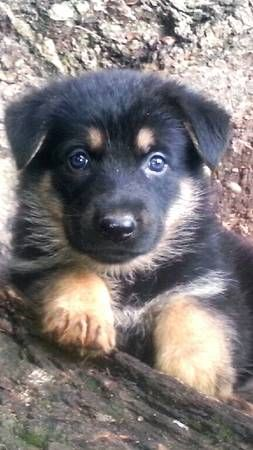 17 Best images about German Shepherd:Puppy Part 2(CLOSED ...