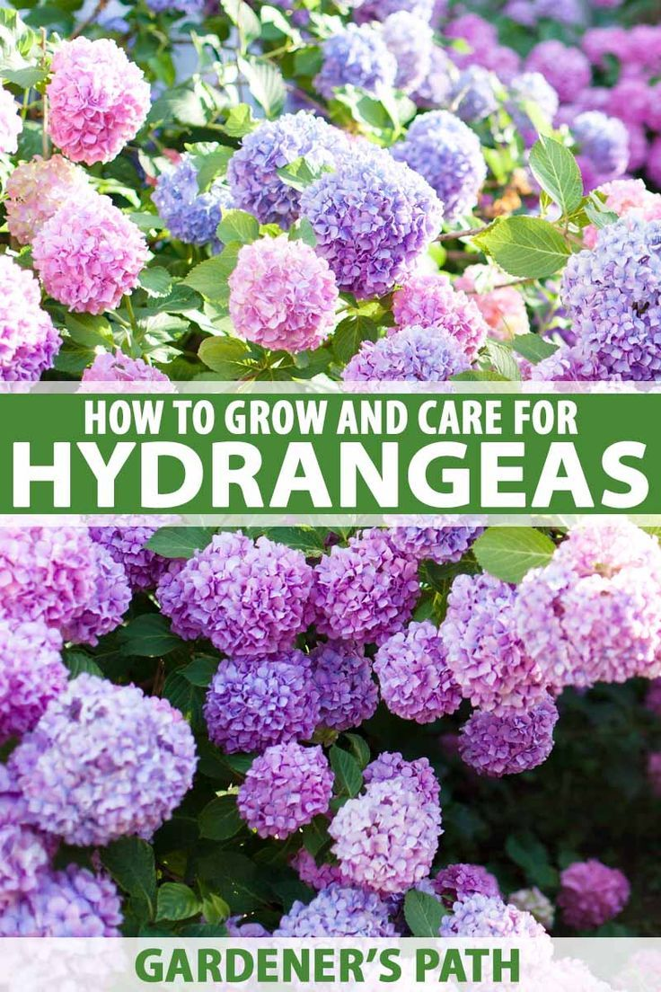 How To Plant Grow And Care For Hydrangeas For Big Blossomed Beauty Growing Hydrangeas Hydrangea Care Planting Hydrangeas