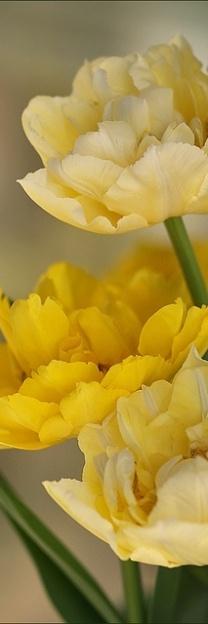 "Beautiful "" Double Butter "" Tulips"