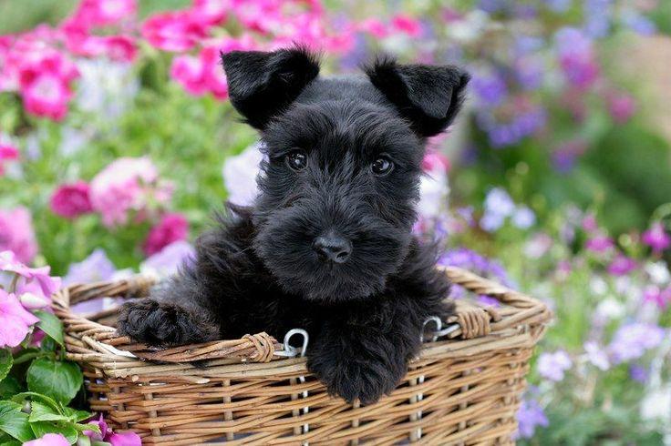 Scottish terrier puppies kennel club Hailsham, East