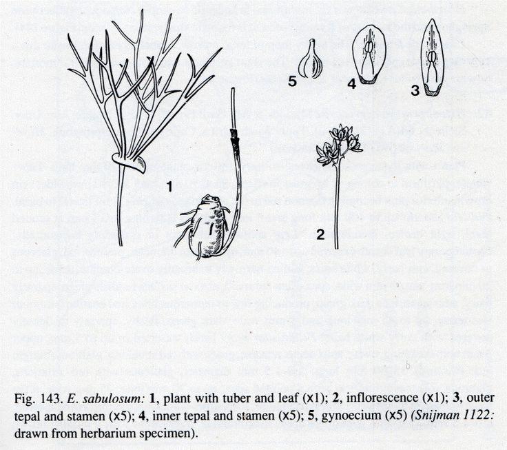 Eriospermum sabulosum