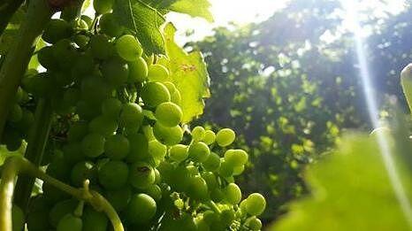 Sunlight in the vines