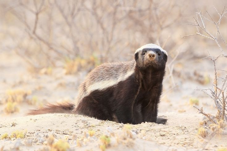 Mental floss explains why honey badgers do not care