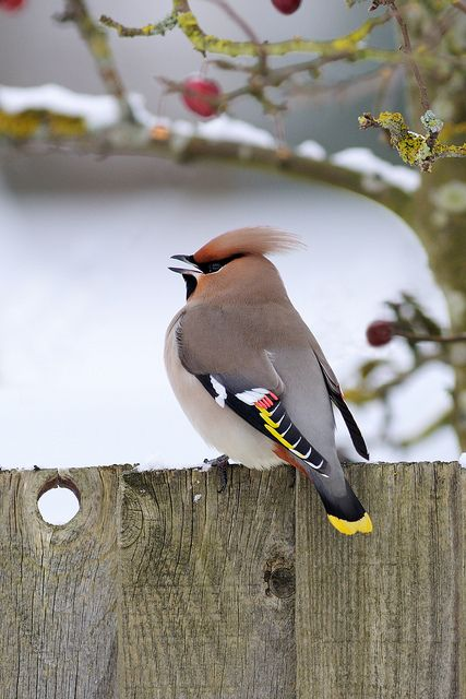 Cedar Waxwing enjoys a cold winter afternoon perched on a wooden fence.