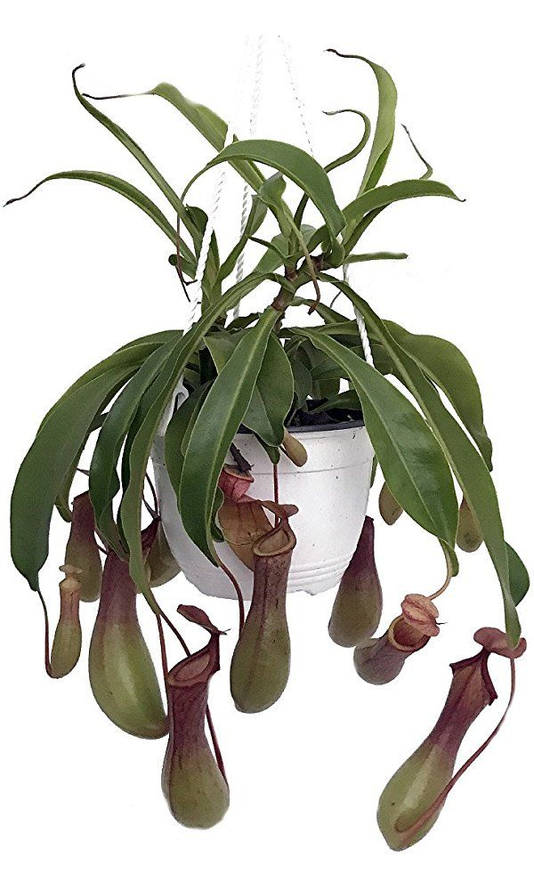 "Asian Pitcher Plant - Nepenthes - Carnivorous - Exotic - 6"" Hanging Basket Best Price"
