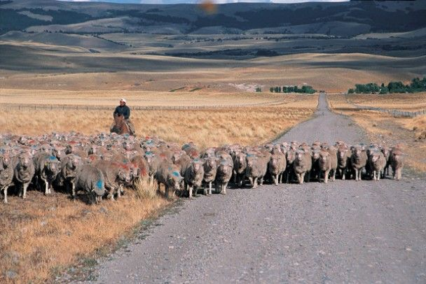 Sheep in Numancia,Chubut,Argentina