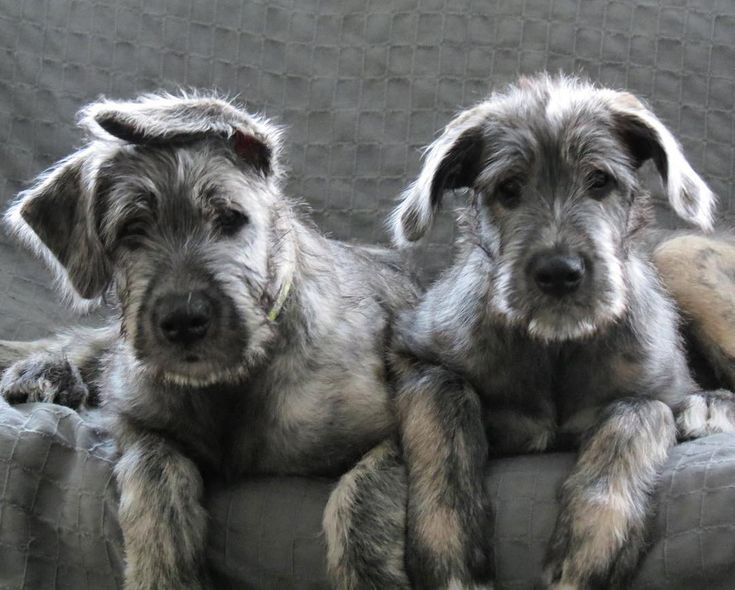 Pin by Beth Iverson on Animals   Wolfhound puppies, Irish ...