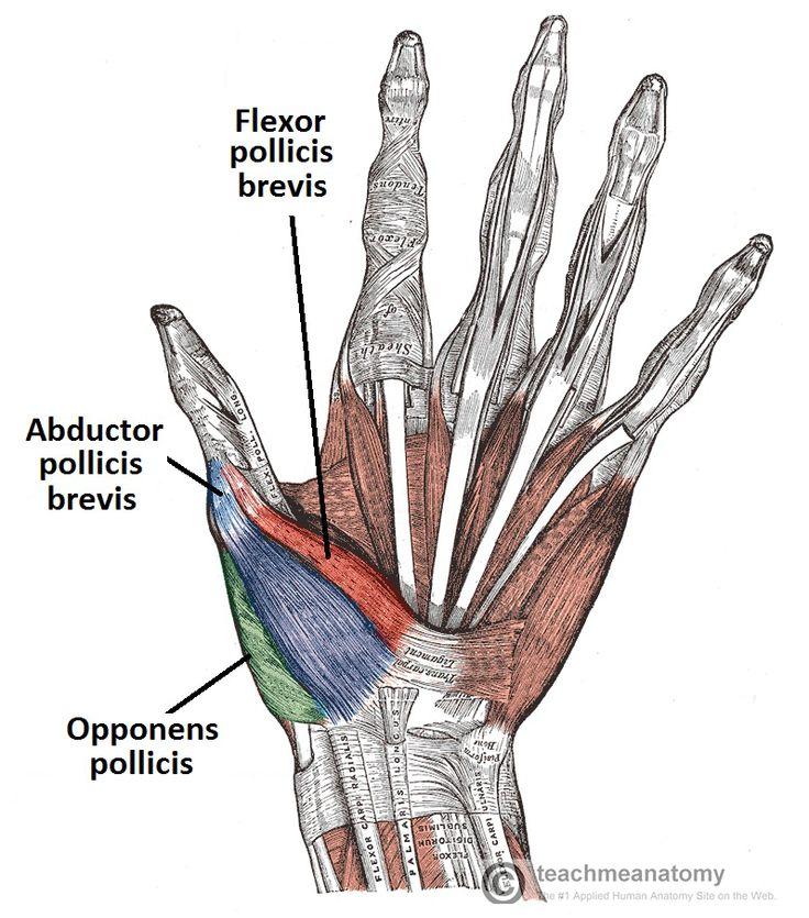 Palm of hand anatomy