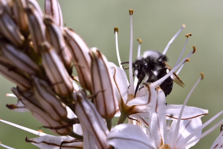a female of andrena-cineraria, ashy mining-bee