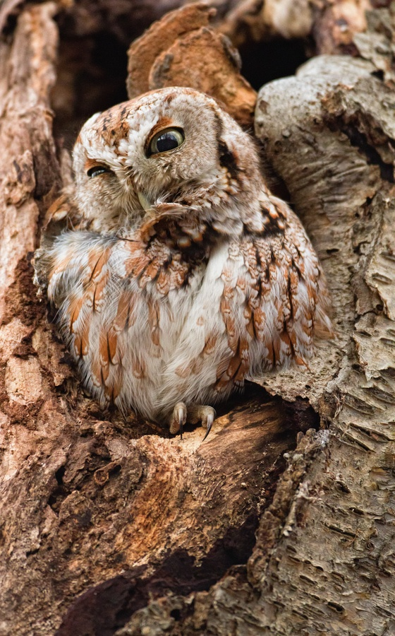 298 Best Owl Images On Pinterest Owls Barn Owls And
