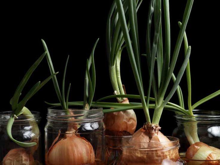 Let it grow! Wie du Knoblauch, Ingwer selber auf der Fensterbank ziehen kannst. | http://eatsmarter.de/ernaehrung/news/kraeuter-und-gemuese-selber-ziehen/