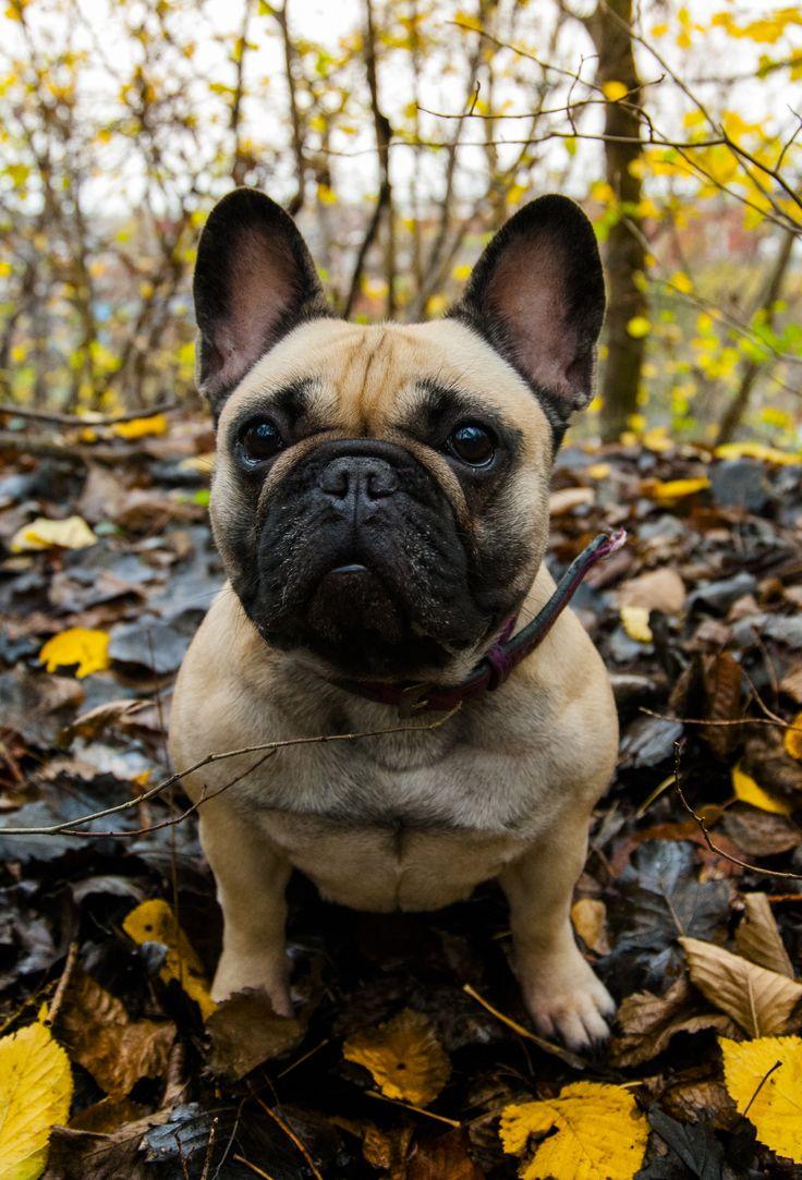 Freja - Fransk Bulldog